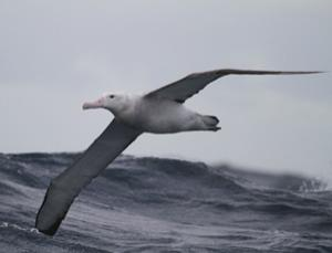 Real fast food for wandering albatross (Image: Paul Tixier)