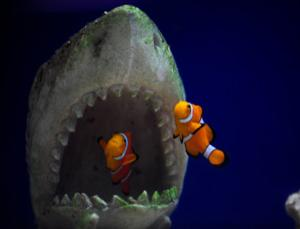 Image gallery shark clownfish for What do clown fish eat