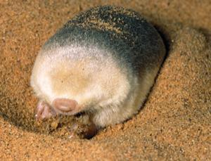 Reflective hairs make a blind mole shine