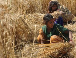 Extreme temperatures are already cutting wheat yields in India