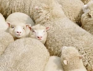 Unborn lambs are the virus's victims (Image: Guy Edwardes/Getty Images)