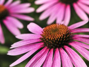 Echinacea purpurea or purple coneflower, source of one supplement that seems to work