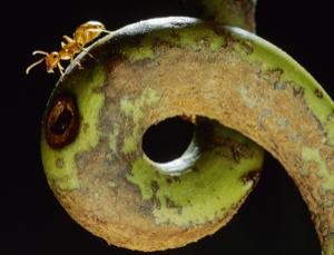 The Camponotus schmitzi ant dives into the digestive juices of the pitcher plant to catch its prey