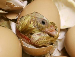 Embryonic chick brains took up sugar molecules in a regular cycle, suggesting a sleep pattern