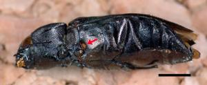 The fire beetle's infrared organ can detect heat radiation from a distance (Helmut Schmitz/Uni Bonn)