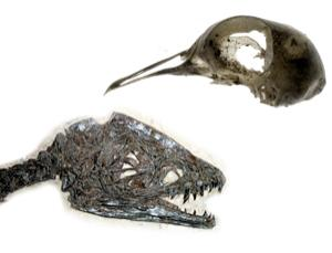 Juvenile Scipionyx samniticus dinosaur, left, and a bird skull, right (Images: Giovanni Dall'Orto, National History Museum Milan, left, and Brian Harris/Rex Features)