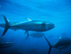 Tuna probably aren't the only migratory species carrying radiation from the Fukushima disaster (Image: Sue Flood/Getty Images)