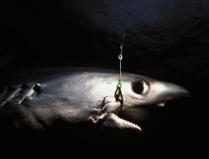 This bigeye thresher shark has been caught on a longline hook near Costa Rica