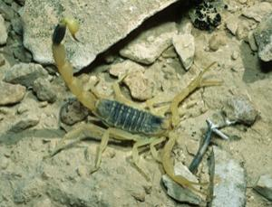 The deathstalker scorpion is helping in the fight against cancer