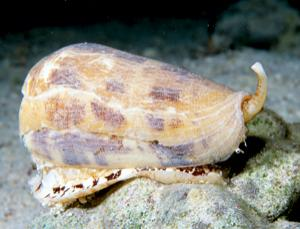 Cone snails have to be collected with tongs as their sting can kill