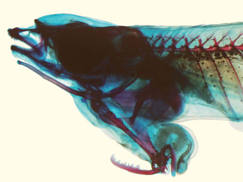 Cleared and stained specimen of male Phallostethus cuulong