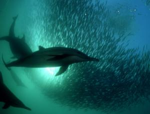 The trick used by the dolphins could inspire improved sea mine detection