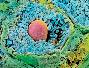 An egg in the making Image: P. M. Motta, G. Macchiarelli, S. A. Nottola/SPL