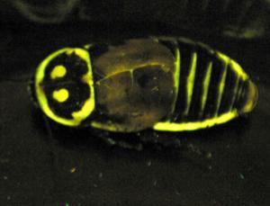 Bioluminescent cockroach (Lucihormetica luckae)