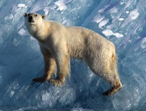 Peril at the top of the Arctic food chain (Berndt-Joel Gunnarsson/Nordic Photos/PlainPicture)