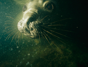 Seals use bioluminescence to hunt underwater prey