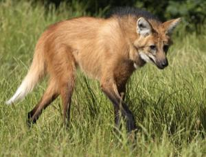 Copy and save: the maned wolf