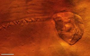 Encased Vorticella-like fossil