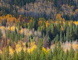 The beautiful aspens of the US will be severely taxed by climate change