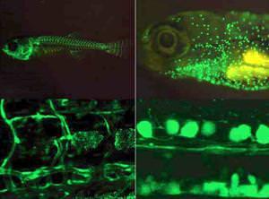 Fluorescent protein is a bright idea