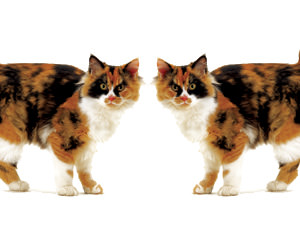 The DNA sequence is not the only mode of inheritance. Female tortoiseshell cats get their markings from a random pattern of gene silencing