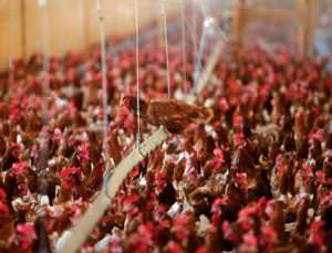 Make hens happy, vaccinate them now