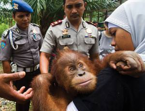 Collectors pay very high prices for trafficked great apes