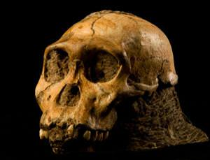 Definitely our closest non-human ancestor - but so much more remains to be uncovered
