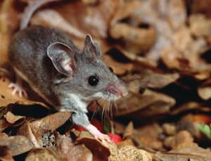 The deer mouse could replace chimps in work on a vaccine for hepatitis C