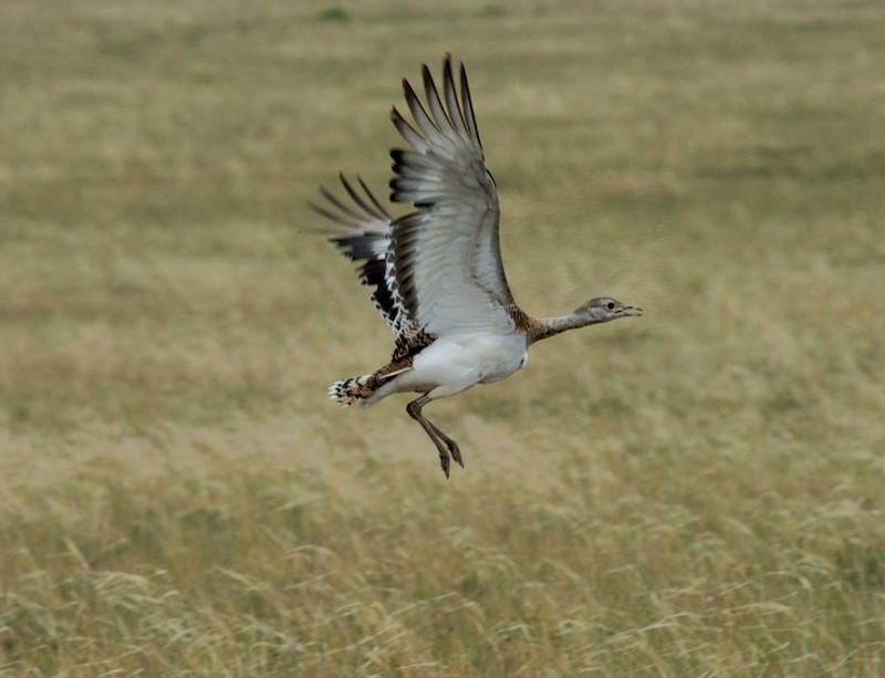 You can't keep a great bustard down