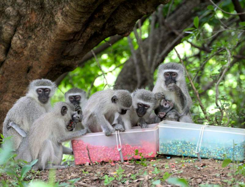 Migrant monkeys munch whatever the locals are having