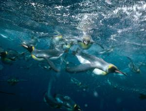 Penguins in action: who needs flight when you can swim like this?