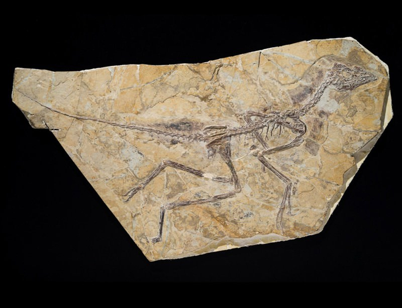 'Dawn bird' sees Archaeopteryx return to bird fold