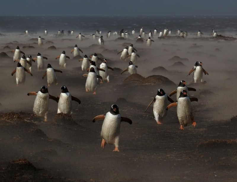 Falklands penguins return home through a sandstorm