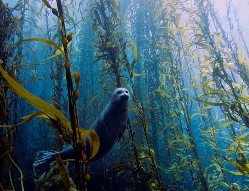 Portrait of shy seal in underwater forest wins contest