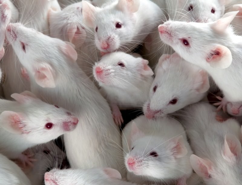 Supplying millions of mice for experiments is a major operation