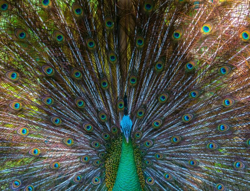 We think they're glorious to look at - but peahens aren't that fussed