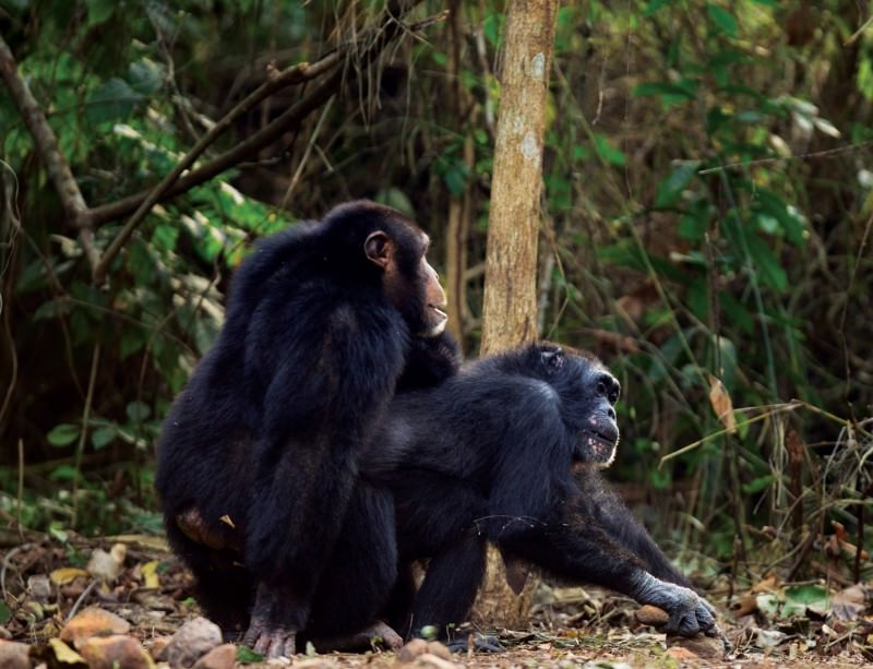 Chimps have experimented with sex more than humans | New ...