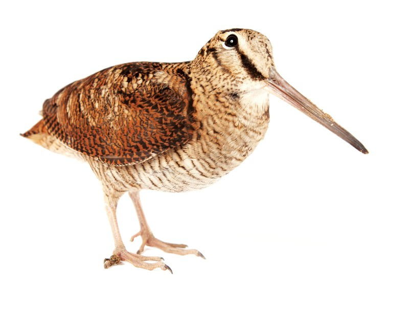 Eyes high up on the head let a woodcock see nearly all around itself