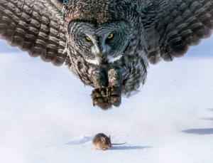 Acute hearing allows a great grey owl to pinpoint a mouse even beneath the snow