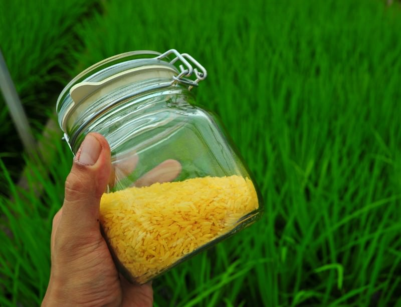 Golden Rice has a distinctive appearance