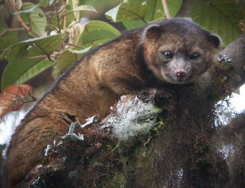 New cloud-forest mammal looks like living teddy bear