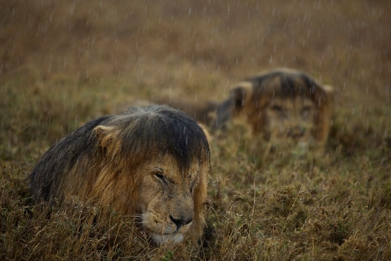 The rain in the Serengeti falls mainly on the lions