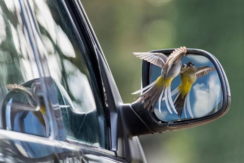 Wagtail battles itself in award-winning photo