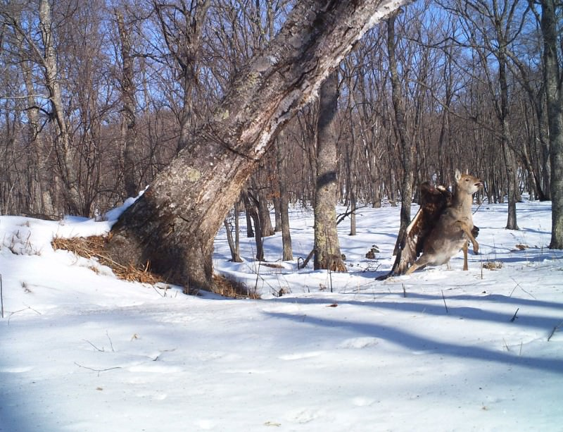 Bye-bye Bambi: Eagle snags deer in ambitious attack