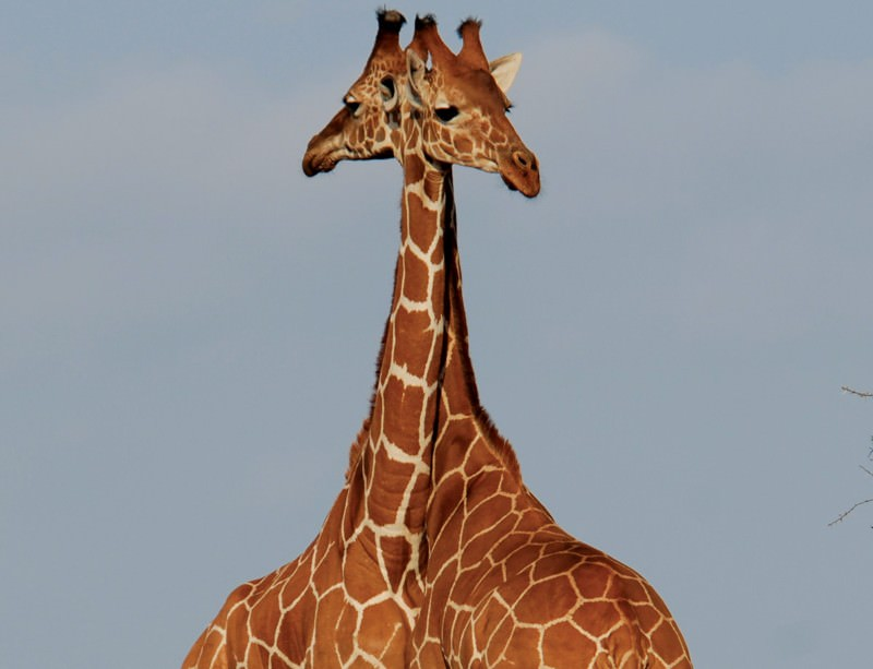 Giraffes look gorgeous, even in decline