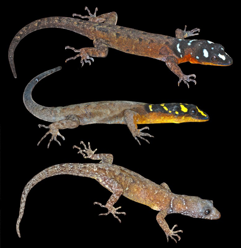 High-vis gecko becomes poster reptile for Amazon