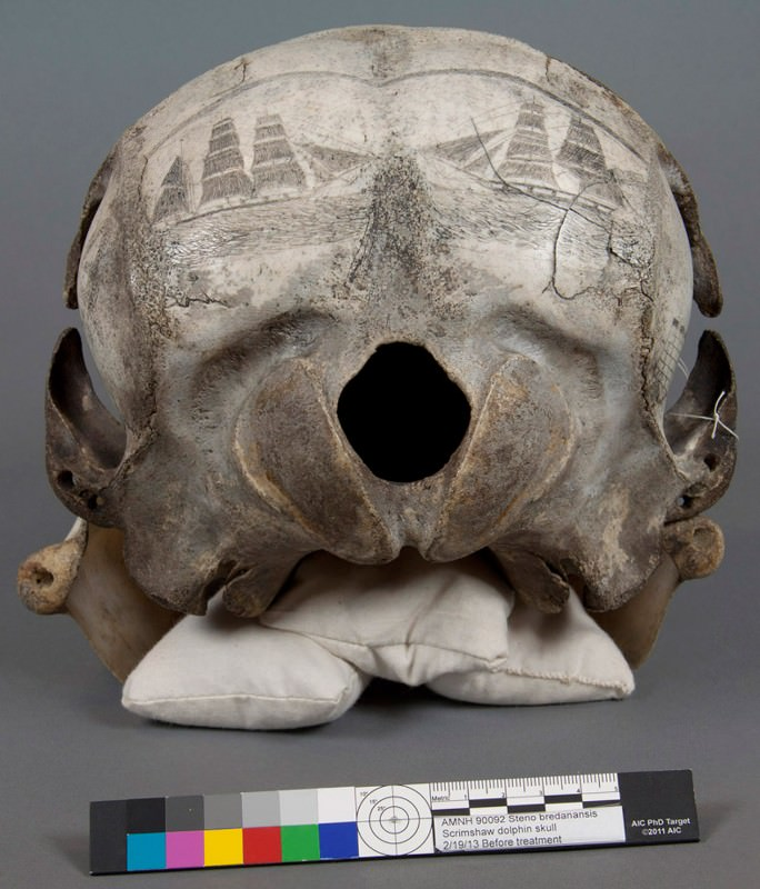 Scrimshaw skull was canvas for whaling artists