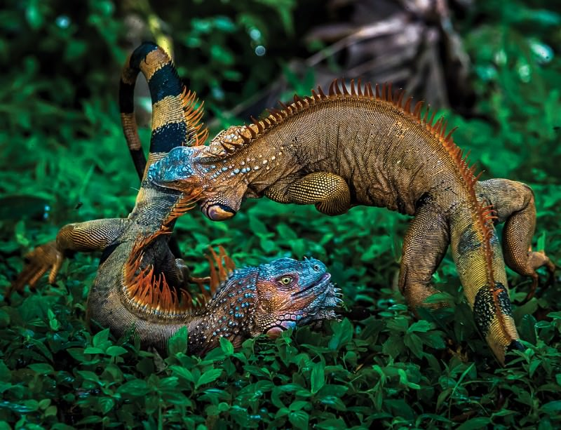 Real Fire Dragon: Fighting Iguanas Are Real-life Game Of Thrones Dragons