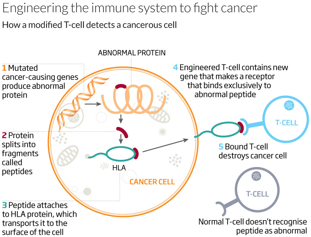 Engineering the immune system to fight cancer
